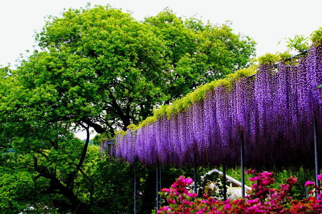Ashikaga Flower Park Wisteria Flowers Of Unearthly Beauty