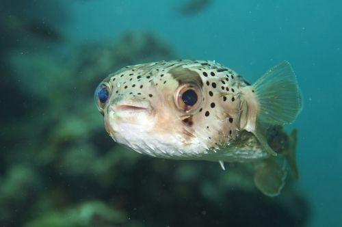 Blowfish_in_water