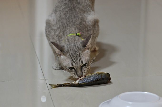Cat_eating_fish