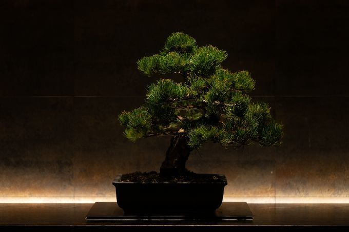 Bonsai_tree_at_hayakawa