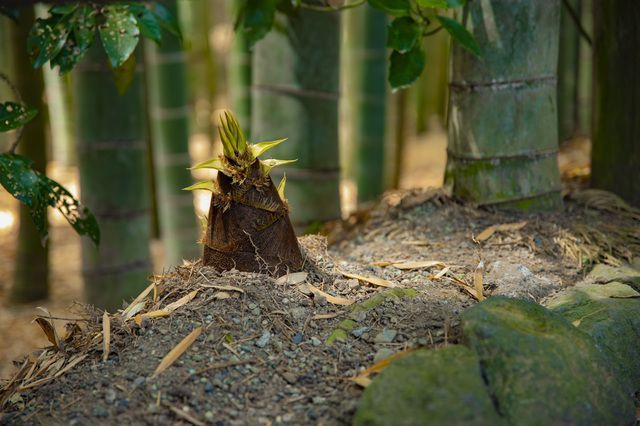 Bamboo_shoot_growing_in_the_woods